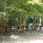 Group Turnout ~ Social horses go in one of our 2 large areas capable of holding up to 5 horses each
